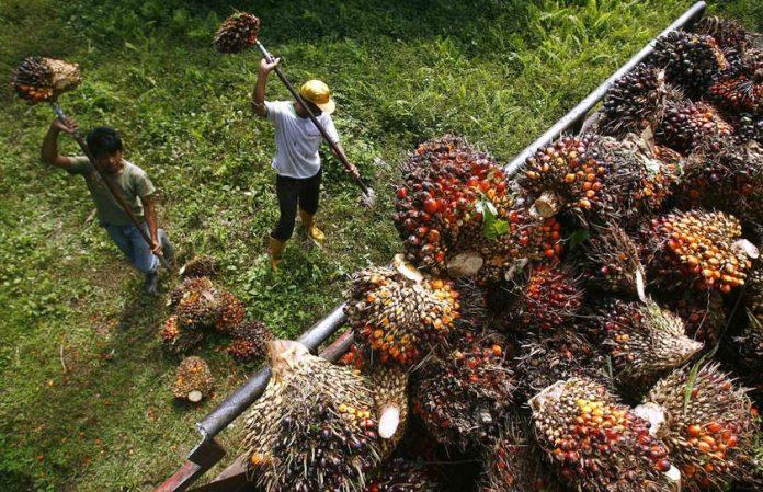 SAWIT:Dana RM500 juta bantu pekebun kecil sawit